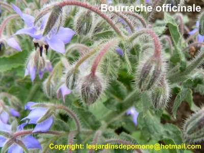 2007 06 21 011 Bourrache officinale_redimensionne
