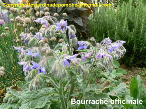 Bourrache officinale 2007 06 10 Jardins de Pomone 007